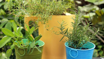 Hawaii Home Garden – Organic Produce: Holiday Herbs – rosemary, sage & thyme