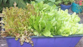 Hawaii Home Garden – Organic Produce Garden: lettuce
