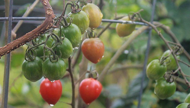 Hawaii Home Garden – Organic Produce Garden: Tomatoes