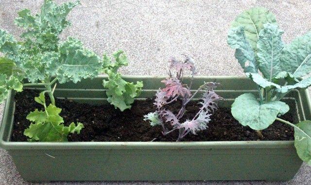 garden organic produce hawaii container container garden home home garden landscape organic kale