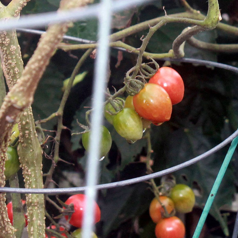 These Tomatoes On The Vine Are Almost Ready