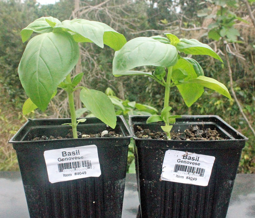 These 2 to 3 inch basil starters are available in home improvement stores for about $3.00 each. A great way to start your organic home garden.