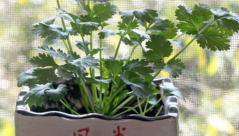 Hawaii Home Garden – Organic Chinese herbs: Chinese parsley & chives